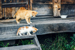 Red and white cat with small kittens against a wooden wall of old wooden hut in a countryside.Cats family. Rustic style. Stock Photography