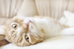 Red-and-white cat Royalty Free Stock Photo