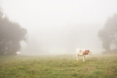 Red and white cattle in the morning mist Stock Photo