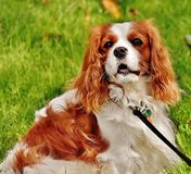Red and White Cavalier King Charles Spaniel Lying on Green Grass during Daytime Stock Photo