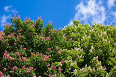 Red and white chestnut tree, spring background. Red and white chestnut tree in blossom background stock photography