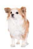Red and white chihuahua dog Stock Images