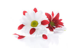 Red and white chrysanthemum Stock Photo