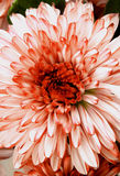 Red and White Chrysanthemum. Beautiful Red and White Chrysanthemum closeup as Background Royalty Free Stock Photography