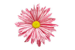 Red and white Chrysanthemum. Stripey red and white Chrysanthemum flower isolated against white Stock Photo