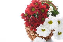 Red and white chrysanthemums in a basket Royalty Free Stock Photo