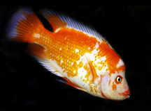 Red and white cichlid Royalty Free Stock Photos