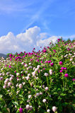 Red and white clovers flowering on the hill, Japan. Royalty Free Stock Photo