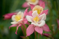 Red and  white colored Columbine Stock Images