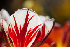 Red white colorful tulip flower, unusual petal pattern. Macro view natural flowers petals. Bright nature concept. soft Stock Images