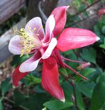 red-and-white columbine Stock Image