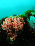 Red and white coral. This coral reef image was taken at Barracuda Reef off the coast of Dania Beach, Florida stock photography