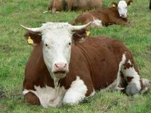 Red and White Cow 2 stock photography