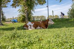 Red and white cow, breed of cattle montbeliard, lazy lying in the middle of a green meadow with a blue sky. stock photo