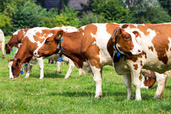 Red and white cow grazing farm cattle Stock Images