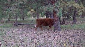 Red and white cow grazing in pine forest on a summer day. Red and white cow walking in a pine forest with cones on the ground stock video