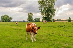 Red-and-white cow looks curiously at the photographer. Red Holstein cow on the floodplains of Dutch river looks curiously at the photographer. It is on the stock image