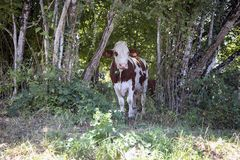 Red and white cow, Montbeliard, standing in a grove, in a thicket, a collar and looking cute. Red and white cow, Montbeliard, standing in a grove, in a thicket royalty free stock image