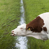 Red and white cow reaches for grass on other side of ditch in du Stock Photos