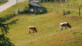 Red-white cows graze in a mountainous area. Aerial view of countryside with grazing cows. Agricultural background. Red-white cows graze in a mountainous area stock video footage