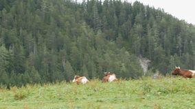 Red-white cows graze in a mountainous area. Aerial view of countryside with grazing cows. Agricultural background. stock video footage