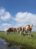 Red and white cows in green grassy dutch meadow under blue sky w Royalty Free Stock Image