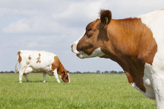 Red and white cows in green grassy dutch meadow under blue sky w Stock Image