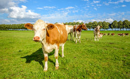 Red and white cows in a green meadow in summertime Stock Photos