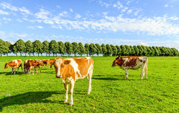 Red and white cows in a green meadow in summertime Royalty Free Stock Photo