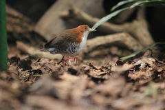 Red-and-white crake Stock Photography