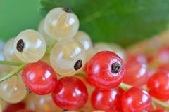 Red and White Currant Berries Stock Image