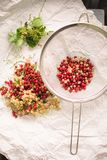 Red and white currant berries being cleaned. Removing stems and leaves. The berries are in a sieve stock photography