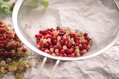Red and white currant berries being cleaned. Removing stems and leaves. The berries are in a sieve stock photos