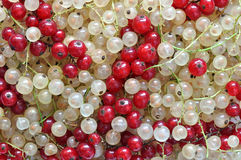 Red and white currant Stock Image
