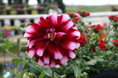 Red and White Dahlia. In full bloom with macro details of flower Stock Photo