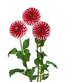 Red White Dahlia Stock Image