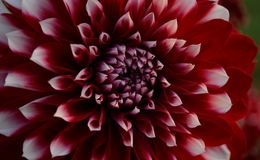 Red and white Dahlia stock photos