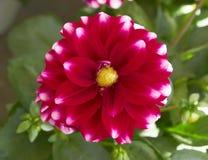Red white Dahlia flower closeup Stock Photos