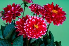 Red white dahlia flowers. On green    background royalty free stock photos