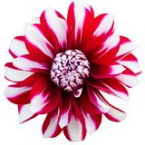 Red and white dahlia. Isolated on white background Royalty Free Stock Photo