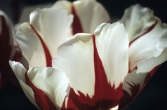 Red and White Darwin Tulip. Close up of an white and red Darwin tulip at Keukenhof gardens, the Netherlands stock photos