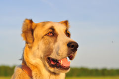 Red-white dog sitting on a green field, green grass. Animal port. Rait. Background of the sunset Stock Photography