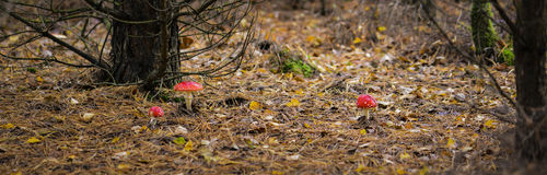 Fly agaric mushrooms Stock Images