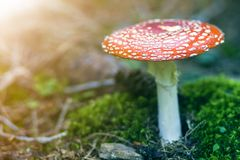 Red white-dotted toxic poisonous fly agaric mushroom, toadstool or Amanita muscaria growing in grass on bright sunny background.  royalty free stock photo