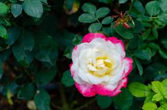 Red and white of Double Delight Hybrid Tea rose Stock Photos