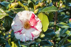 Red and white double-flowered hybrid camellia flower in bloom. Closeup of red and white double-flowered hybrid camellia flower in bloom stock image