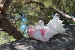 Red-white dove. royalty free stock photo