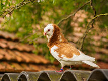 Red and white dove on rooftop Stock Images