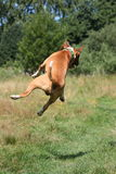 Red and white english bull terrier jumping in the air Royalty Free Stock Images
