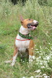 Red and white english bull terrier sitting on the field Stock Image